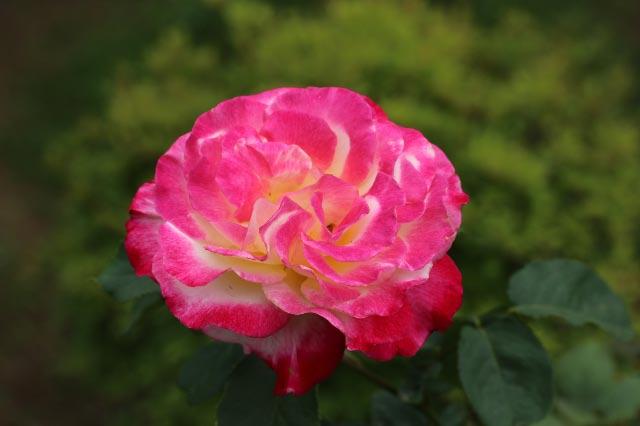 バラ-1.jpg