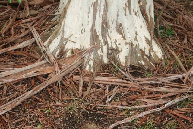 シマサルスベリの幹と樹皮-1.jpg