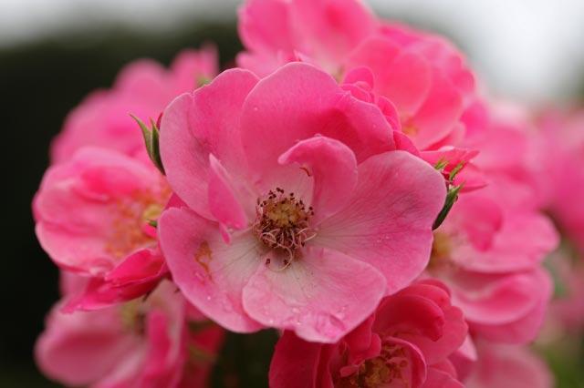 名残の薔薇-1.jpg
