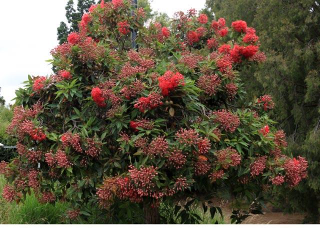 red flowering gum.-1.jpg