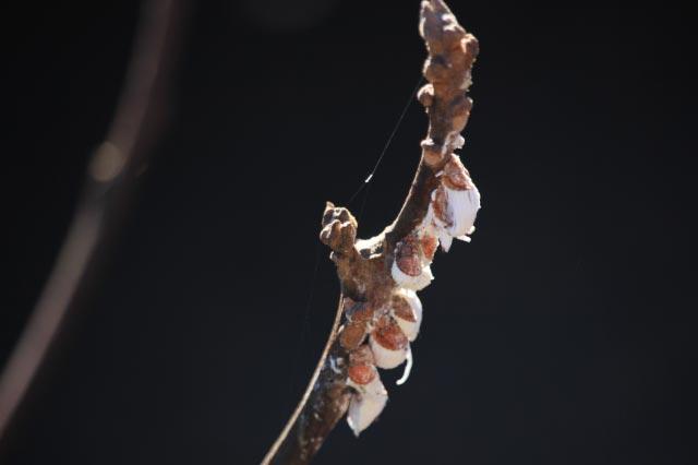 カイガラムシの卵-1.jpg