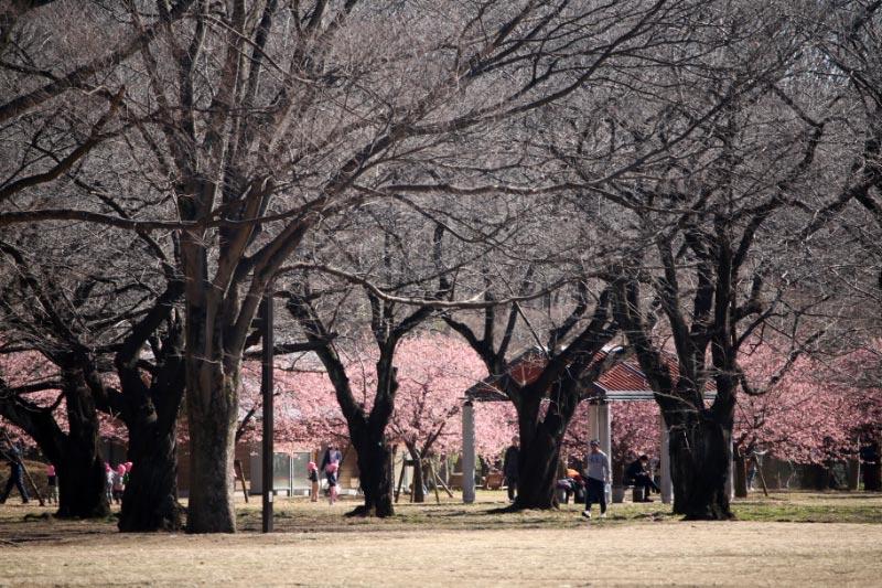 河津桜-1-2.jpg