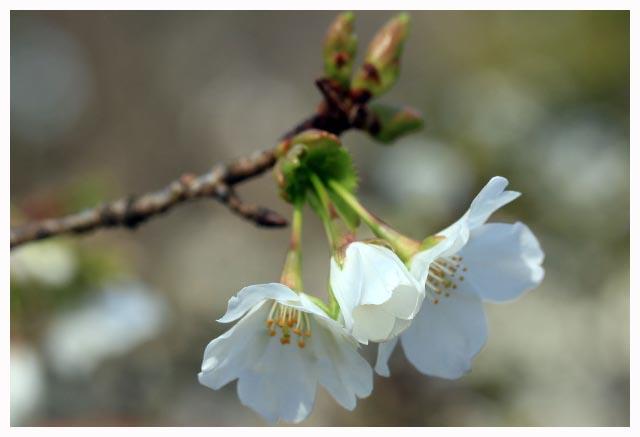 大島桜-1.jpg