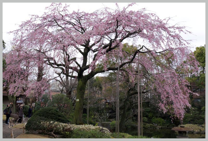 枝垂れ桜-1-3.jpg