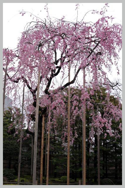 枝垂れ桜-1-1.jpg