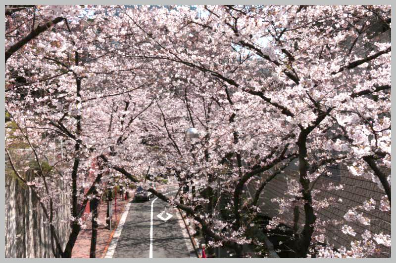 桜のトンネル-1.jpg