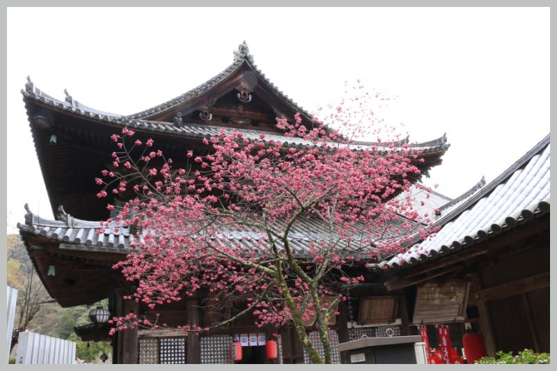 本堂と寒緋桜-1.jpg