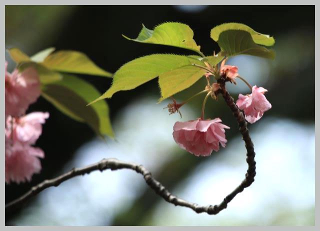 関山、枝が太い-1.jpg