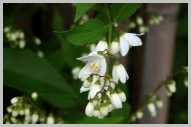 ウツギ、卯の花-1.jpg