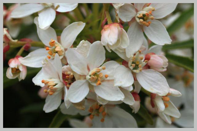choysa flower2.jpg