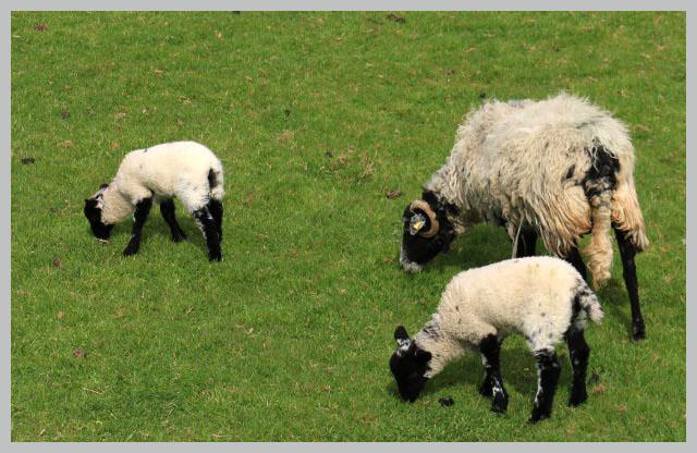 羊-1.jpg