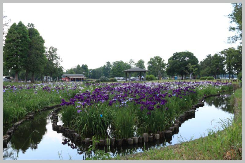 水元公園 花菖蒲3.jpg
