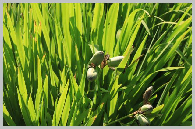燕子花-1.jpg