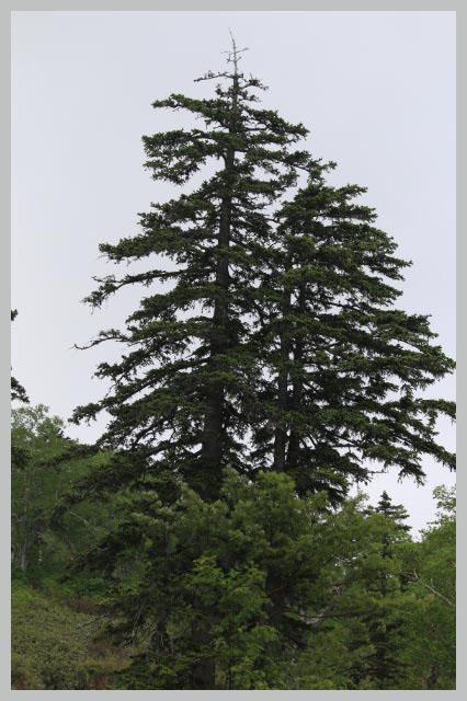 オオシラビソ-1.jpg