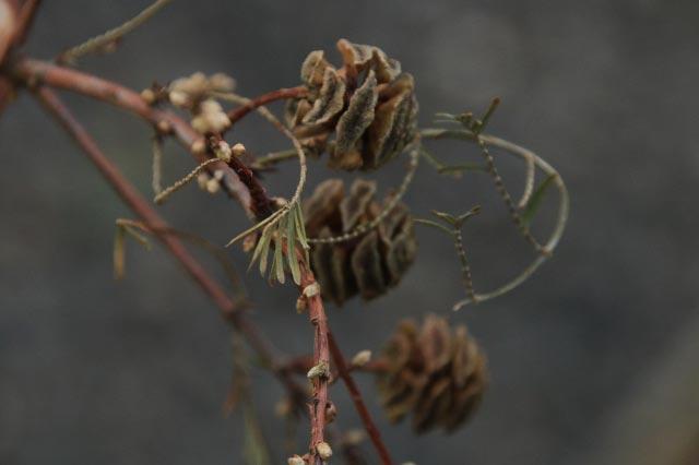 メタセコイア、雌花-1.jpg