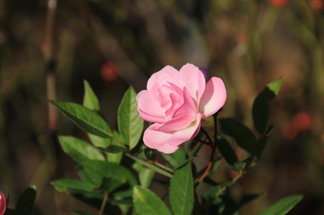 よろこび old rose-1.jpg