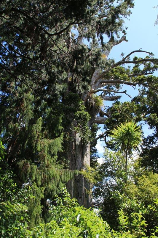 カウリ森林保護区-1.jpg
