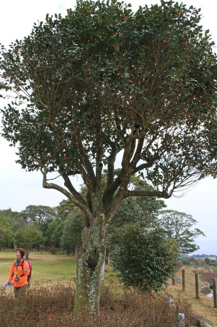 椿の大木-1.jpg