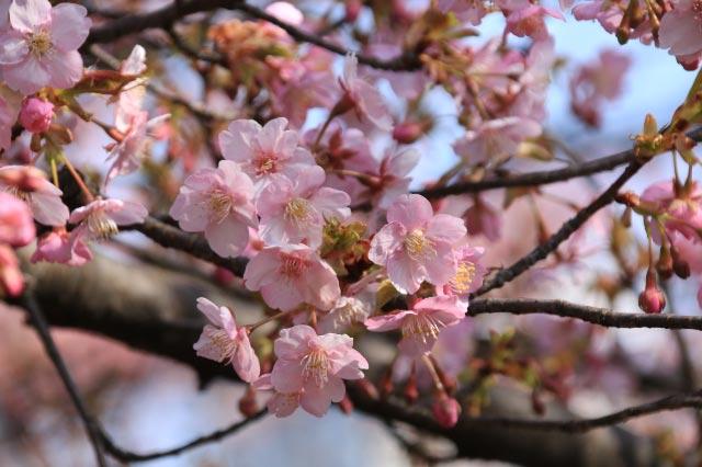 河津桜-1.jpg