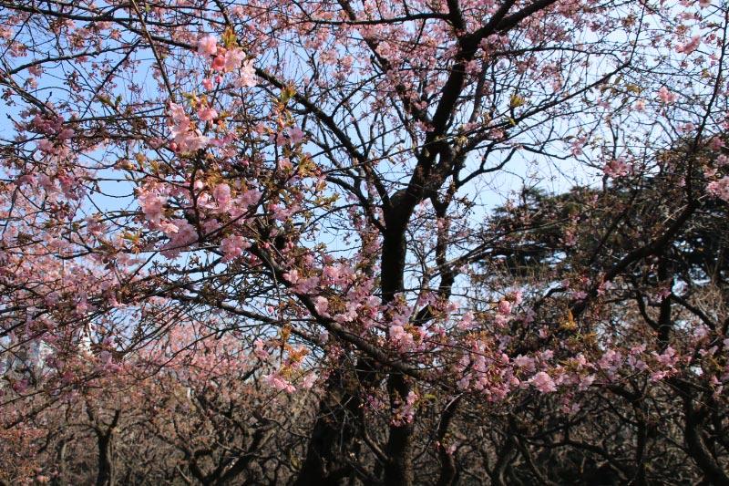 河津桜-1-1.jpg