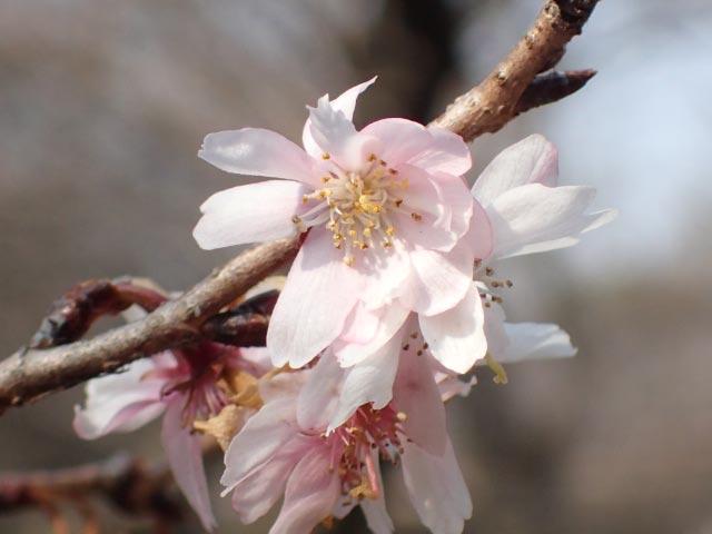 十月桜-1.jpg