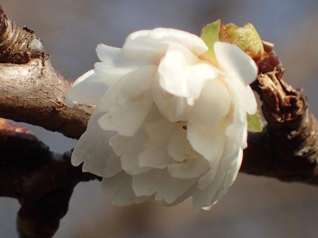 子福桜-1.jpg