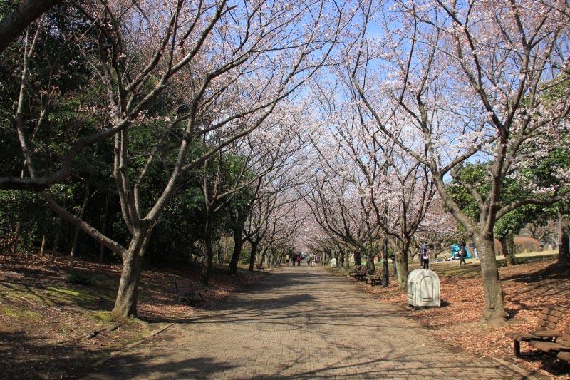 桜の散歩道-1.jpg