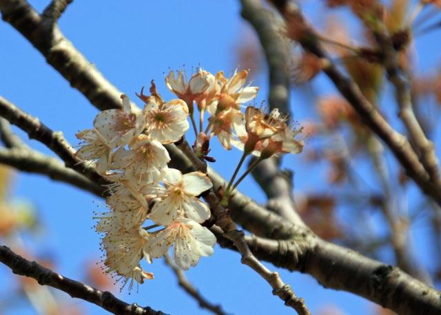 小彼岸桜、エオヒガンとマメザクラ-1.jpg