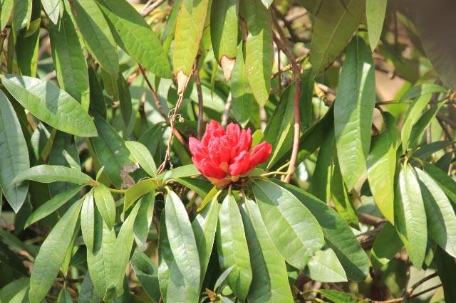 西洋石楠花-1.jpg