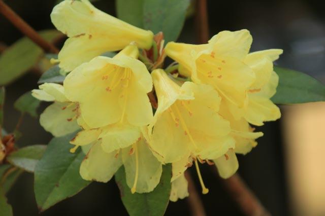 黄色い石楠花-1.jpg