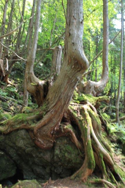 杉の巨木-1.jpg