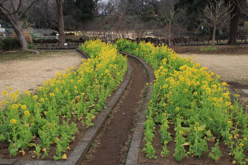 菜の花-1.jpg