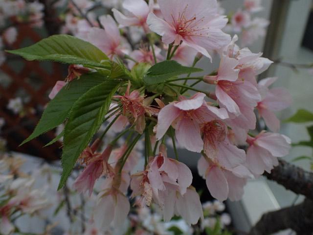 玉縄桜-1.jpg
