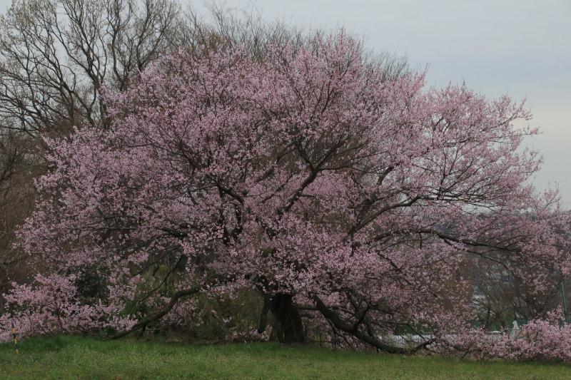 大寒桜-1.jpg