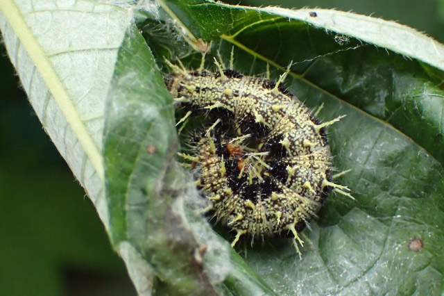 キタテハの幼虫-1.jpg