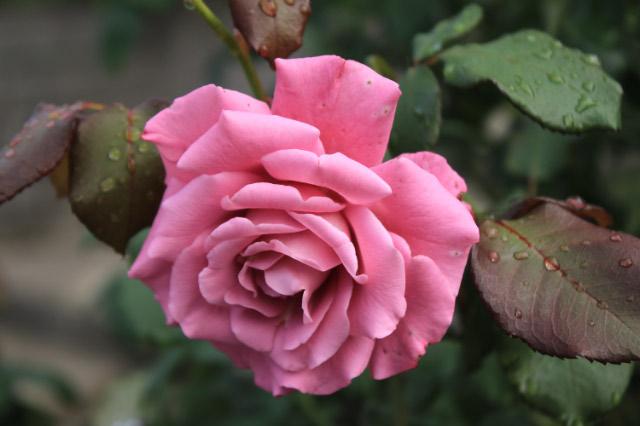 薔薇-1-1.jpg