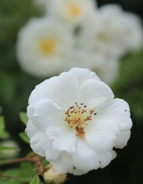 白薔薇、後ろボケ-1.jpg