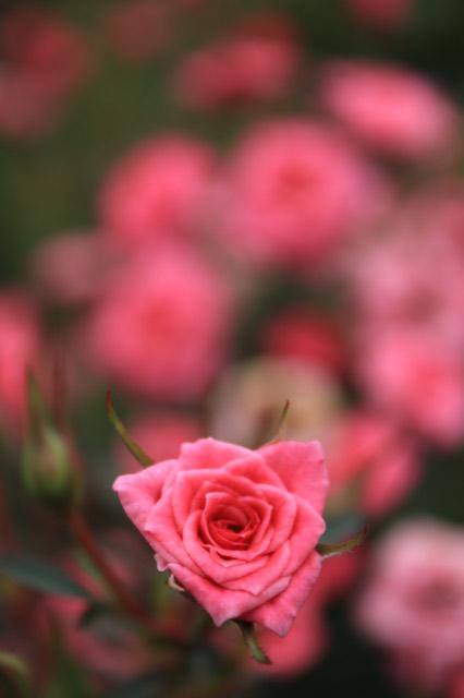 薔薇、後ろボケ-1.jpg