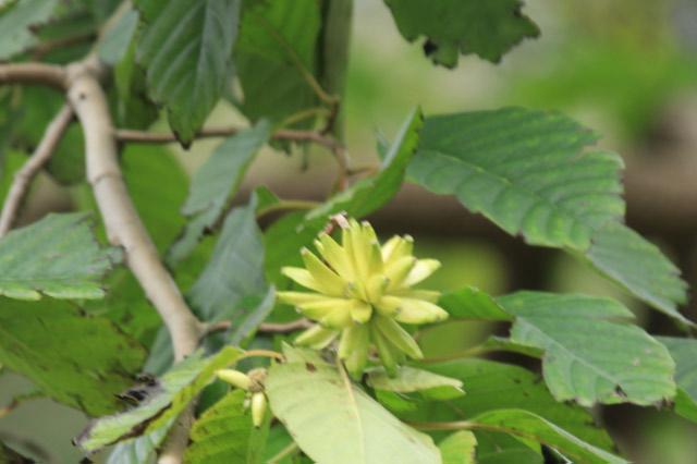 喜樹-1.jpg