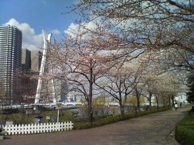 佃リバーシティの桜