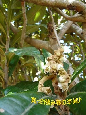 枇杷の木2