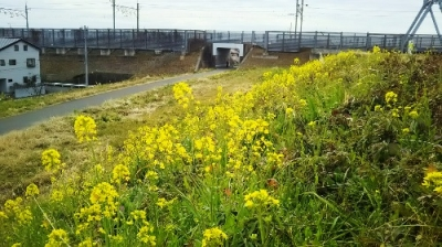 江戸川河川敷菜の花