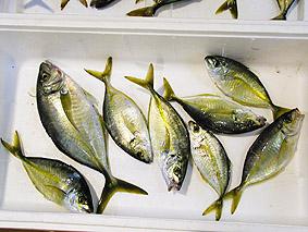 高級魚シマアジ