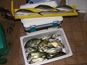 カキハラで釣れたシマアジ。大漁です。