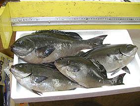 親父が野田浜で釣ってきたメジナ。
