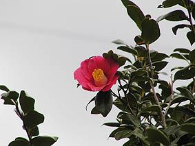 大島町の花・木として制定されている椿。