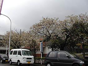 吉谷公園前。桜がガッツリ咲いてるよ。