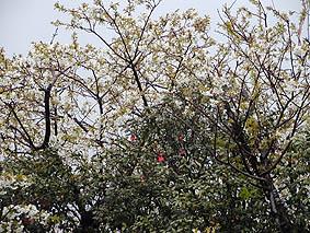 ウワー!桜と椿のコラボレーションやー!
