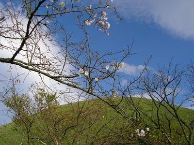 十月桜と大室山