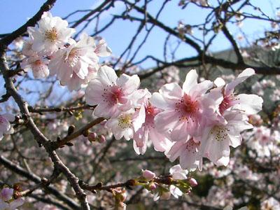 十月桜アップ1
